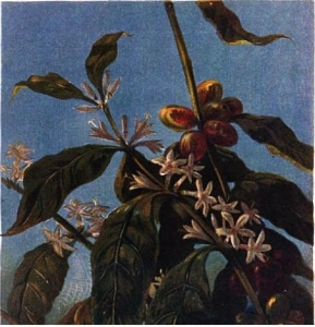 """A picture of a coffee plant from Hewitt's """"Coffee, Its History, Cultivation, and Uses"""""""